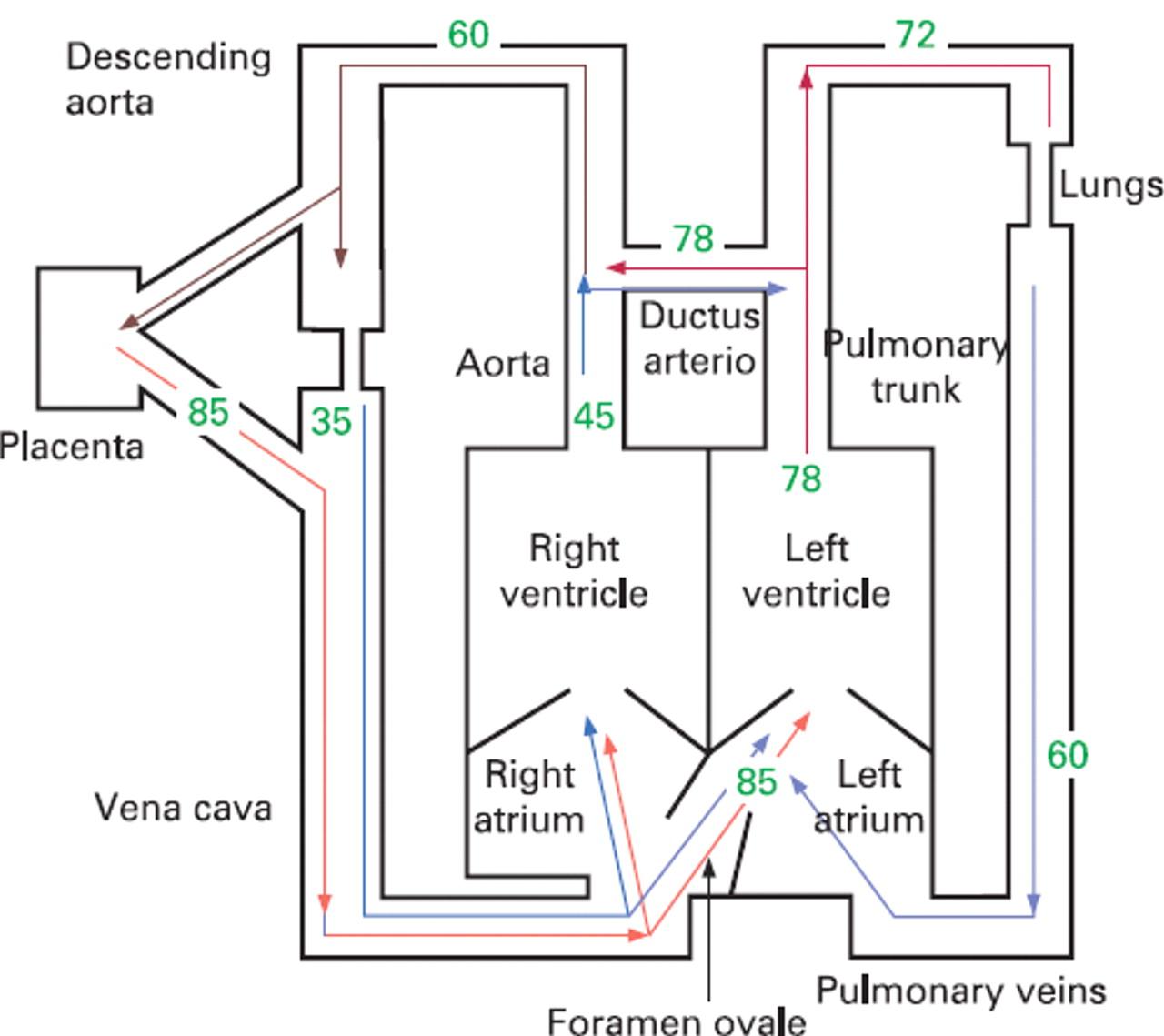 Flow Chart Fetal Circulation   Moebel um